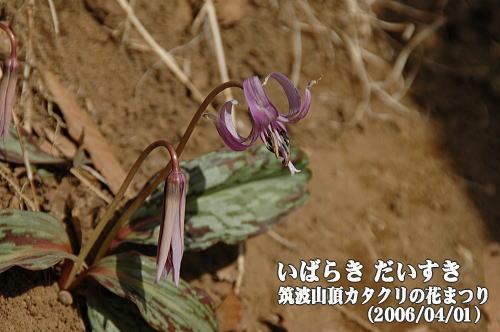 カタクリの花 筑波山頂(茨城県つくば市)