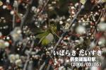 偕楽園の梅とメジロ