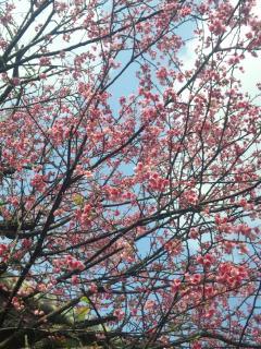 桜②2011(縮小