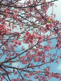 桜①2011(縮小