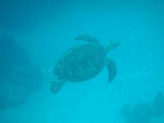 20111022ダイアナ海亀