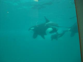 シャチの赤ちゃん