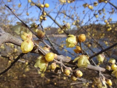 「ロウバイ ~黄色で花弁の厚い冬の花20110116」