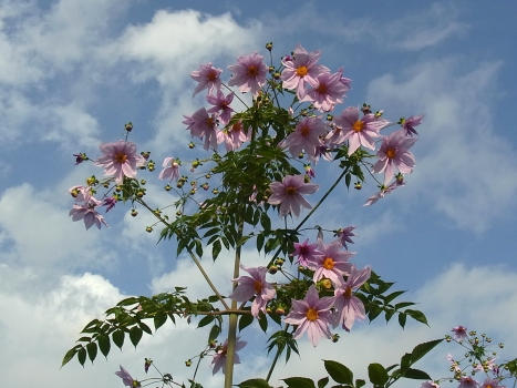 「コウテイダリア ~見上げるほどのピンクの大花」