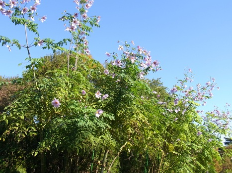 「コウテイダリア ~木質化する中空の幹」