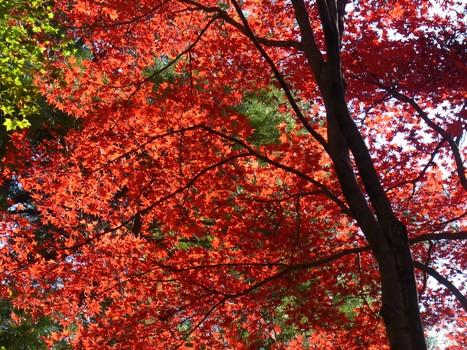 「森林公園のカエデ~日に透ける紅葉・黄葉-1」