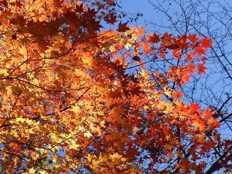 「森林公園のカエデ~日に透ける紅葉・黄葉-2」