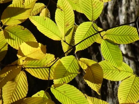 「チドリノキ ~らしくない葉の黄葉」