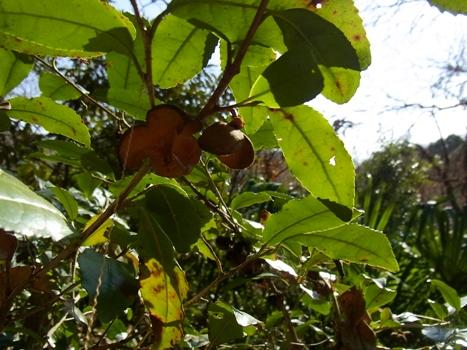 「チャノキ ~茶樹の種子と冬葉」