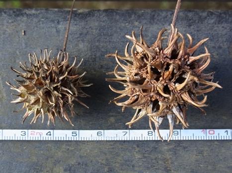 きれぎれの風彩「モミジバフウ」3-2~突起の大きい果実