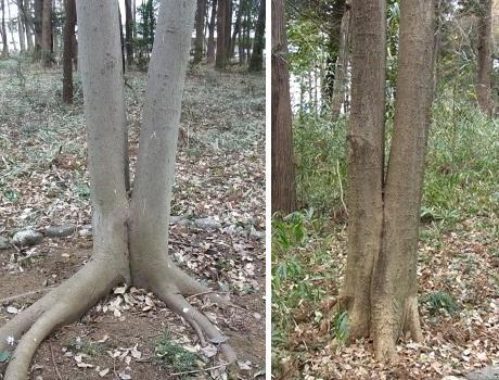 きれぎれの風彩 「二又の樹」