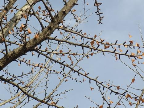 きれぎれの風彩 「冬のイチョウ.2」