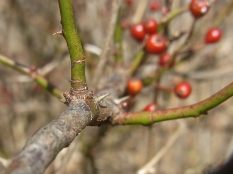「ノイバラ ~赤い実と冬の葉」