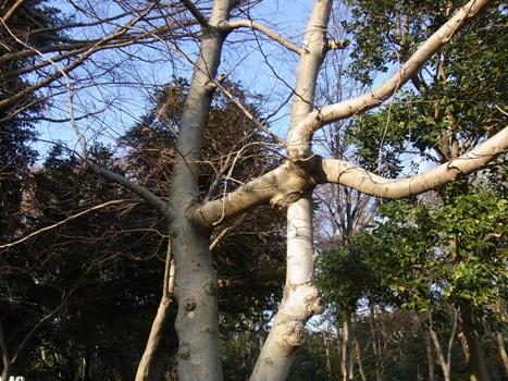 きれぎれの風彩 「コブシの枝」01