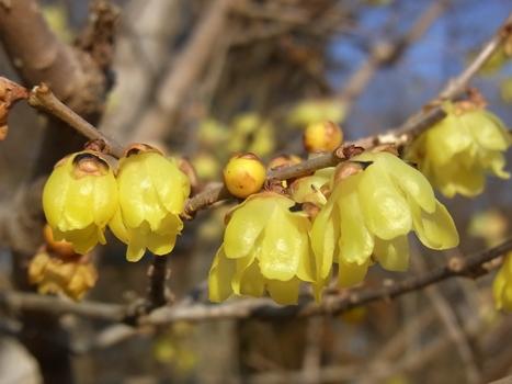 「ロウバイ ~黄色で花弁の厚い冬の花20120218」