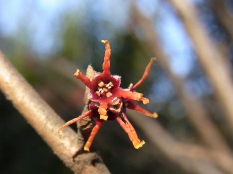 「マンサク ~まだ小さい赤い花」