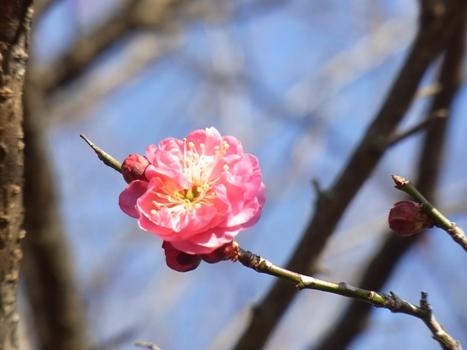 「カンコウバイ ~紅い八重咲き」