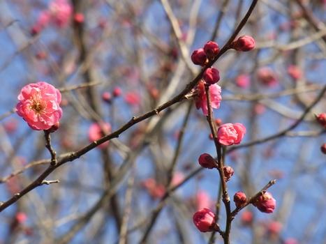 きれぎれの風彩 「カンコウバイ」2012/2/18