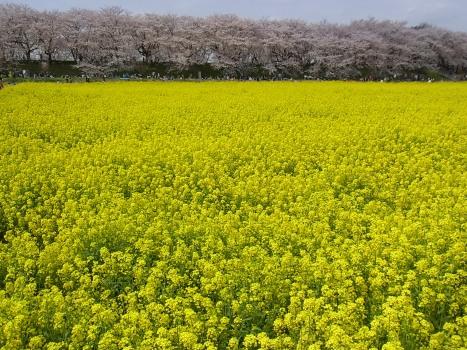 きれぎれの風彩 「2011権現堂堤の菜の花畑」