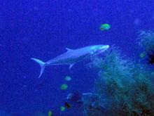 デカイ魚-w 80cmくらいだろかー 小魚を追っかけてまーす