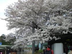 2009 4 4 相模原駅桜