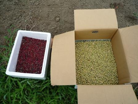 2009.7.19大豆、小豆の種