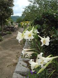 ユリの花と本当の百姓