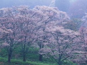 桜_convert_20110420215948