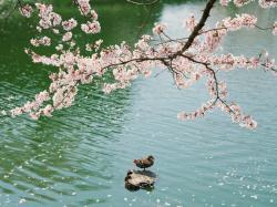 散る桜_convert_20110420220110