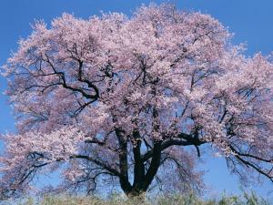 満開の桜_convert_20110420220221