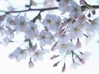 桜2_convert_20110420220546