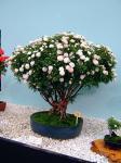 080516ミニバラ盆栽シンデレラ樹齢54年