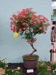 080516ミニバラ盆栽リトルアーチスト