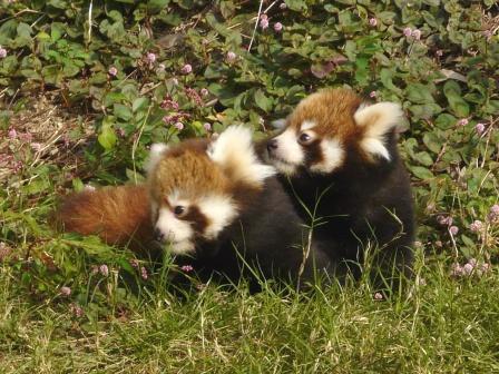 レッサーパンダ 双子の赤ちゃん 3