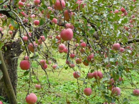 ふるさと旅行村 りんご園 1