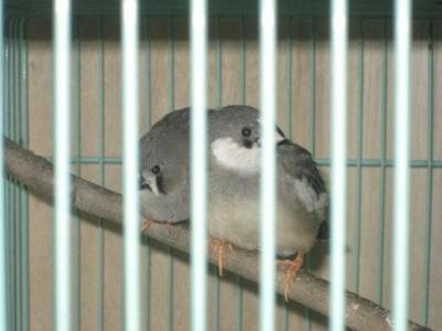 キンカ鳥1