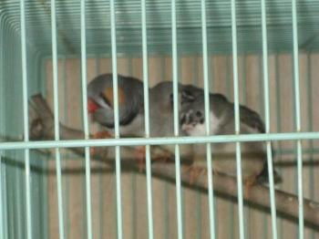 キンカ鳥3