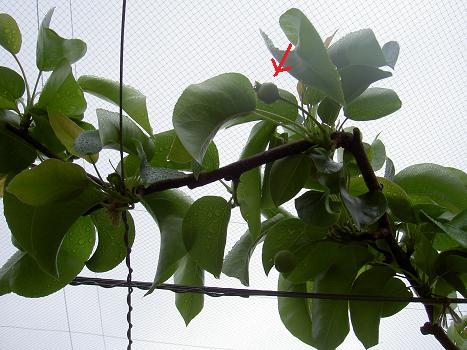 梨の赤ちゃん