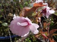 DSCF1281桜1