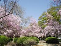 DSCF1308しだれ桜全景
