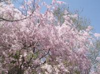 DSCF1332しだれ桜4