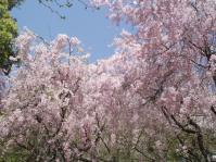 DSCF1328しだれ桜2