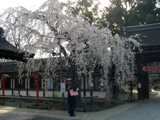 平野桜 021