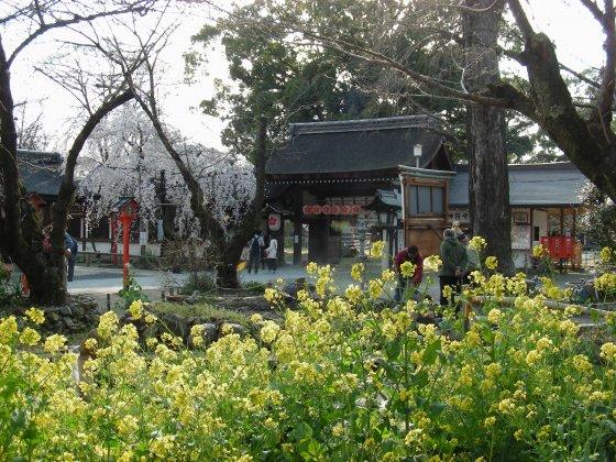 平野桜 029