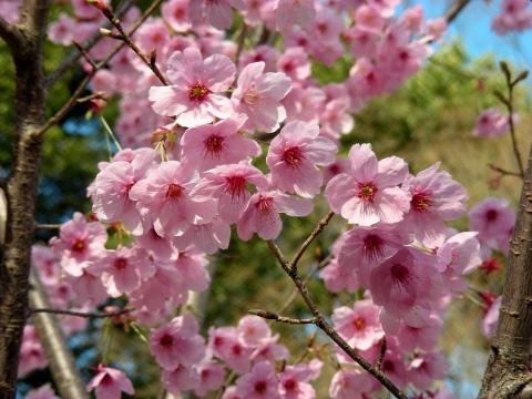 平野桜 027