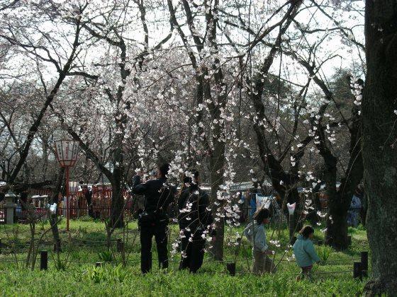 平野桜 036