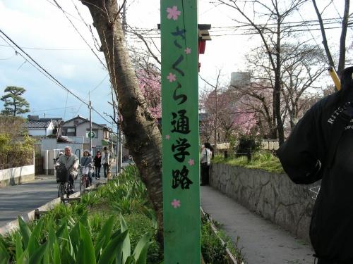 平野桜 040
