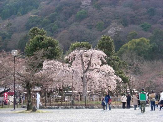 嵐山桜2009 015