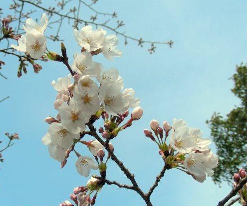 嵐山桜2009 006