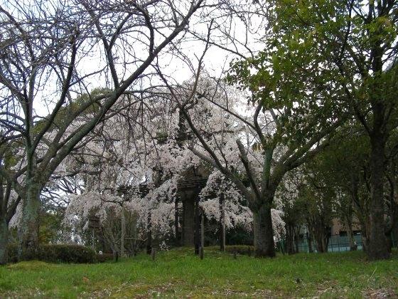 今宮大宮桜 112